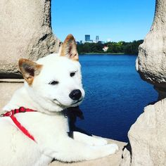 Hey girl.   #uptown #minneapolis #mn #shiba #shibainu #puppy #puppylove #adventure #dogsofinstagram #dogsofinsta #shibainupuppy #shibasofinstagram #shibasofinsta #shibasofig    #Regram via @princeecco) Hey Girl, Minneapolis, Puppy Love, Husky, Puppies, Adventure, Cream, Dogs, Cute