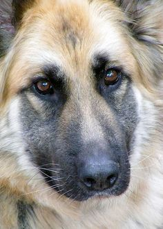 German Shepherd #dog #shepherd #animal #german