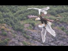 Prophetic: Two Seagulls Fight With Bald Eagle: Will U.S. be Attacked By ...
