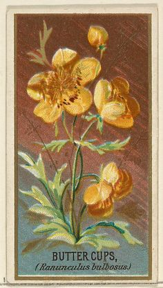 Buttercups (Ranunculus bulbosus), from the Flowers series for Old Judge Cigarettes 1890