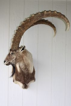 taxidermy- The most amazing horns ive ever seen.