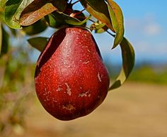 DIGITAL DOWNLOAD Nature Photography Autumn red pear blue green tan  lime green tree - pinned by pin4etsy.com