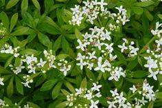 Lieve vrouwe bedstro (Galium odoratum) - p9