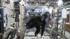 Astronaut Scott Kelly Celebrates Year in Space by Chasing His Crew in a Gorilla Suit   Mashable.com