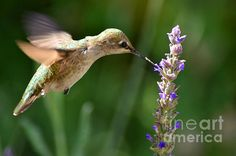 """""""Light Filters Behind The Hummer"""" by Debby Pueschel ♥"""