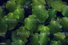 Lush Green Plant Background of Kawakawa (Piper excelsum) A close-up background of Kawakawa (Piper excelsum) in green tones. Ethereal Stock Photo Abstract Images, Abstract Backgrounds, Plant Background, Photo Composition, Medicinal Plants, Lush Green, Green Plants, Alternative Medicine, Photo Illustration
