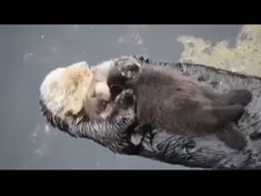 Peacefully drifting mom and baby otter – Betty - Baby Animals Cute Funny Animals, Cute Baby Animals, Funny Cute, Animals And Pets, Cute Dogs, Big Dogs, Amazing Animals, Animals Beautiful, Cute Creatures