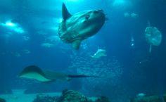 O aquário de dois andares do Oceanário abriga diversas espécies como o mola mola ou peixe-lua, além de tubarões, raias de vários tipos e cardumes coloridos