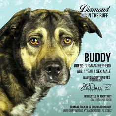No one likes to think about re-homing their pet much less to think that they may end up in the shelter one day. But thats just what happened to Buddy (ID 571717) a 1-year-old German shepherd mix up for adoption at the Humane Society of Broward County and a @jrdunnjewelers sponsored Diamond in the Ruff. This handsome guy was given up to by his family just 4 months ago because they had to move and could not take him.  Buddy is a near 60lbs of #cuteness! He knows basic commands like sit and…