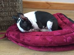 Baby Boston Terrier. Shhhh....