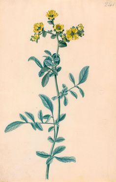 British School   18th century   Flower   The Morgan Library & Musuem
