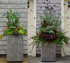Tall Cylinder Pot…The Verbena bonariensis, Tradescantia and Lantana exploded! The Melianthus held its own, but the Lemon Coral Sedum lost its battle with the Pale Puma Tradescantia, and the Heuchera 'Southern Comfort' has wimped out. Note that the Lantana montevidensis has never needed deadheading and shows no signs of stopping flower production.