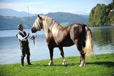 Noriker (Austria).The antiquity of Noriker is undoubted. Some say that it is linked to Roman Empire times, but there is evidence of a Celtic packhorse in the area from the 1st millennium BC, prior to the founding of the Roman empire. Img: Noriker stallion Zeit Schaunitz XVI
