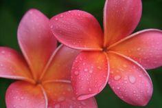 Aloha Hawaii Kalama O Nei Pink Tropical Plumeria - Sharon Mau