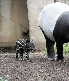 Female tapir Laila has given birth to a healthy baby boy atZoo Leipzig in Germany. The little one weighs just over 18 pounds, and is doing great. Congratulations, mama!