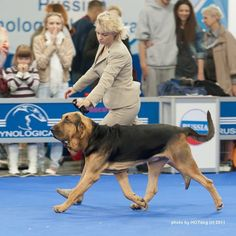 Bloodhound.