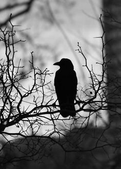 .Blackbirds on overcast days are one of my favorite things.