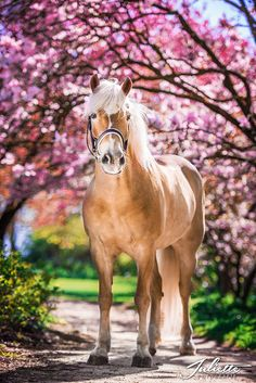 Foto Haflinger Namiro in the collection horses collection - Haflinger at blossom tree - Beautiful Horse Pictures, Most Beautiful Horses, All The Pretty Horses, Animals Beautiful, Caballo Haflinger, Haflinger Horse, Appaloosa Horses, Cute Horses, Horse Love