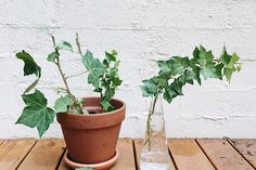 A quick guide on two ways to grow Ivy from a cutting! English Ivy Indoor, Garden, Plants, Patio, Terrace, Lawn And Garden, Porch, Gardens, Plant