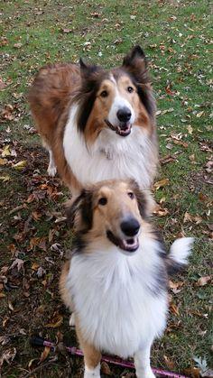Mans Best Friend, Best Friends, The Perfect Dog, Rough Collie, Doggy Stuff, Sheltie, Corgi, Creatures, Animals