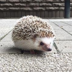 もみじ。ちょっとだけ外に出てみました。思ったより顔を出しました。 #hedgie #hedgehog #ハリネズミ #はりねずみ #pet #刺猬 #ふわもこ部 #igersjp #もみじ