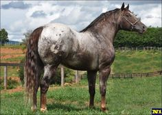 Mr Prince Sunset NL cavalo Appaloosa