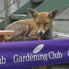 Fox relaxing at Croydon Purley Way Garden Centre.