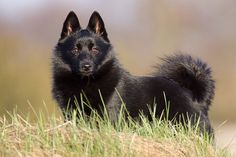 ♥ Schipperke - and still has it's beautiful tail!