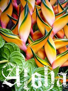 Beautiful tropical flowers: Heliconia and anthuriums Tropical Flowers, Hawaiian Flowers, Tropical Plants, Cactus Flower, Tropical Garden, Unusual Flowers, Amazing Flowers, Beautiful Flowers, Exotic Plants