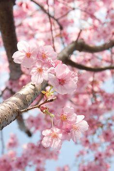 Sakura by 20EURO on Flickr.