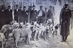 Foto de la jauria del Duque de Arión, en la 2ª Exposición Internacional Canina celebrada en Madrid en Mayo de 1913 Photo of the pack of hounds of the Duke of Arión, in 2 ª International Canine Exhibition celebrated in Madrid in May, 1913