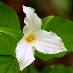Trillium..Beauty...This is the Ontario Provincial flower, we are not allowed to pick these, if caught it is a 500$ fine...however you can dig them up and ransplant..which is what have done and will do again..I suggest you plant in 3's, 5's..they will mate and create beautiful huge clusters