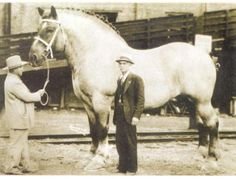 """Check out the neck on this guy! This is Brooklyn Supreme, a Belgian Draft stallion foaled in 1928. He measured 19.2 hands tall, weighed 3,200lbs, wore a 40"""" collar and a girth that measured 10' 2"""" around! """"Brookie"""" took 30"""" of iron for each of his horse shoes!"""