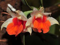 Orchid - Dendrobium bellatulum