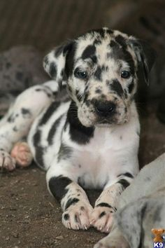 Catahoula I want one Leopard Dog Animals And Pets, Baby Animals, Cute Animals, Wild Animals, I Love Dogs, Cute Dogs, Cute Creatures, Animals Beautiful, Beautiful Dogs