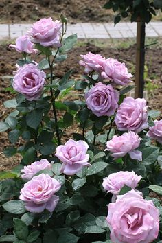 If you are thinking of rose gardening don't let this rumor stop you. While rose gardening can prove to be challenging, once you get the hang of it, it really isn't that bad. Lavender Roses, Purple Roses, Lilac, Real Flowers, Pretty Flowers, Orchid Flowers, Beautiful Roses, Beautiful Gardens, Rose Foto