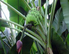 Banánovník - http://www.semena-rostliny.cz/cs/article/111-bananovnik-doma-snadnejsi-nez-se-zda