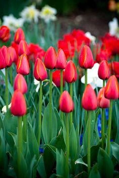 tulips, in the bud stage