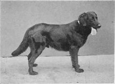 "Wavy Coated Retriever - ""Champion Black Drake"" owned by Mr. Harding Cox. Black Drake had a handsome number of prize wins, but was outstanding as a stud dog. (Which limit bloodlines, but back then genetic diversity wasn't as much of a concern)."