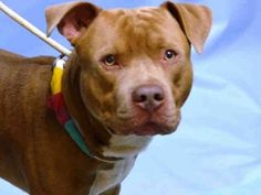 PULLED BY IMAGINE PET RESCUE - 11/07/15 - TO BE DESTROYED - 11/07/15 - MELLO - #A1056150 - Urgent Brooklyn - MALE BROWN/WHITE PIT BULL MIX, 2 Yrs - OWNER SUR - EVALUATE, NO HOLD Reason MOVE2PRIVA - Intake Date 10/27/15 Due Out 10/27/15
