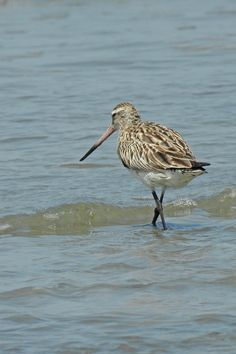 Bar-tailed Godwit can be found in good numbers during autumn. Bird Guides, Information About Birds, Area Of Expertise, Andalucia, Months In A Year, Bird Watching, Numbers, Autumn, Bar