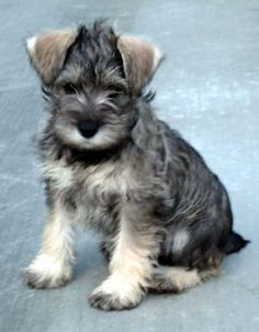 Miniature Schnauzer.  This one looks like my little Bella! They are such sweet, cute, and intelligent little dogs!