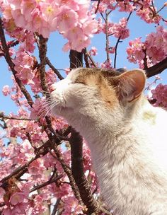 Spring has comming! cat sakura, cherry blossom, pink flower