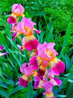 beautiful iris'