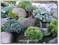 landscaping with dwarf conifers - Yahoo Image Search Results