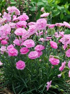 Perennials plants survive the winter and many produce beautiful flowers. Here is useful advice on growing perennials. Dianthus Flowers, Flowers Perennials, Pink Flowers, Planting Flowers, Carnation Plants, Mini Carnations, Flower Seeds, Flower Pots, Garden Edging
