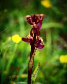 Vestfynsk orkide #visitfyn #fyn #nature #nature_perfection #naturelovers #mothernature #natur #denmark #danmark #dänemark #landscape #assensnatur #assens #mitassens #vildmedfyn #fynerfin #vielskernaturen #visitassens #instapic #picoftheday #summer2016 #sommer #orkide #igscandinavia