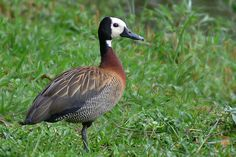 Photos of Geese and Ducks / Patos y Gansos - Anseriformes - Argentina