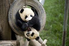 Bifengxia Panda breeding: Giant panda cubs at the Bifengxia Panda breeding centre in Sichuan