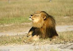 Criatura magnífica: Cecil o leão basks no sol no Parque Nacional de Hwange nesta foto sem ...